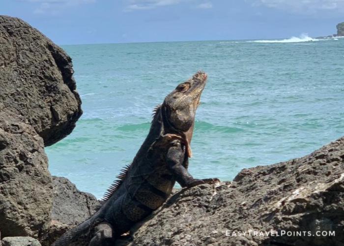an iguana on a rock at a beach